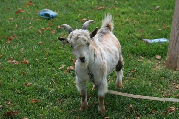 Goat For Sale in Merced California Classifieds Craigslist Ads