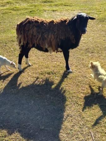 Sheep For Sale in Victorville California Classifieds